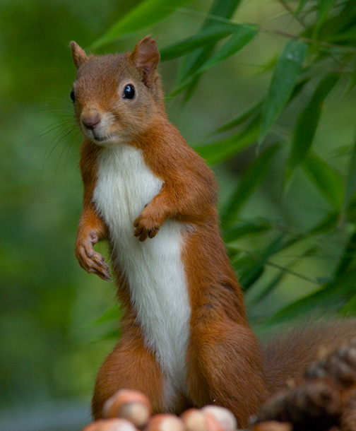 Baby red squirrels - photo#21